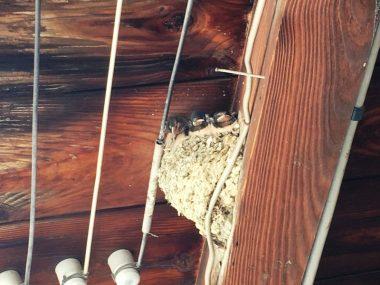 板軒とツバメの巣