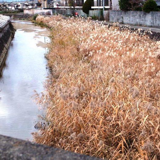 190101奈良盆地米川に茂る葦