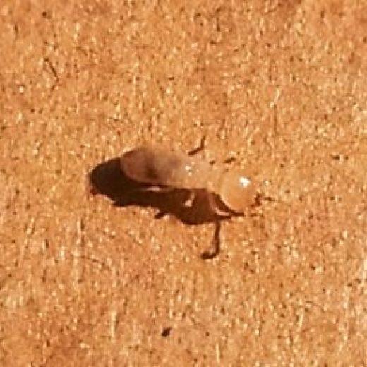 13131124大和シロアリの幼虫