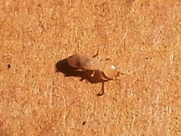 131124大和シロアリの幼虫